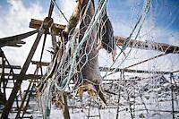 Cod stockfish hang to dry in winter, Lofoten islands, Norway