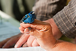 SOUTHBURY,  CT-051817JS12- A volunteer looks over a male indigo bunting during a bird banding study Thursday at the Audubon Center Bent of the River in Southbury. <br /> Jim Shannon Republican-American