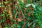 A Mueller's Gibbon pauses to hang from tree vines in Sarawak, Malaysia.