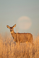 Mule deer doe (Odocoileus hemionus)and rising full moon