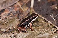 Talamancan Rocket Frog (Colostethus talamancae), Darkland, Panama