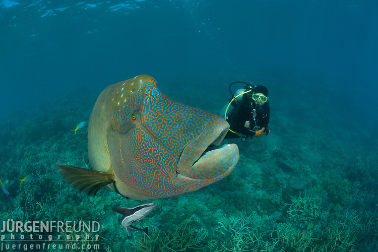 Adult male napoleon wrasse in the reef with diver jurgen for Freund s fish
