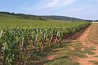 "Vineyard. ""Le Montrachet"" Grand Cru, Puligny Montrachet, Cote de Beaune, d'Or, Burgundy, France"