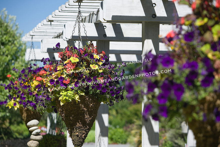 At the Bellevue Botanical Garden in Bellevue, WA, hanging conical baskets (designed by Lisa Wells of Wells Medina Nursery) hold Pelargonium (geranium) 'Indian Dunes' along with Fuchsia 'Gardenmeister Bonstedt' and the chartreuse-leaved potato vine Ipomoea batatas 'Marguerite.'  A purple petunia provides the trailing effect.