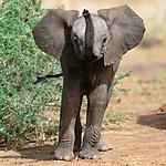 African elephant calf, Chobe National Park, Botswana