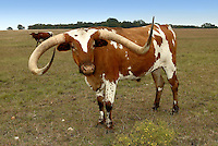 The Texas Longhorn is a breed of cattle known for its characteristic horns, which can extend to 7 feet.