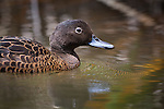 The Brown Teal has the distinction of being New Zealands rarest duck with a national population of less than 1000 and is listed as endangered. Like many native birds of New Zealand it was once widespread, but with European settlement and the introduction of mammalian predators their numbers plummented resulting in their survial being dependant on offshore island populations..A dabbling duck that feeds on aquatic invertebrates they tend to be nocturnal feeders and spend daylight hours resting along the banks of streams and ponds.