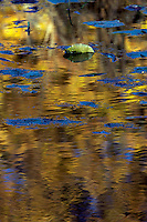 Lilly pads float on water reflecting blue and gold.  One Lilly Pad is raised by wind to show its non-reflected, true color.
