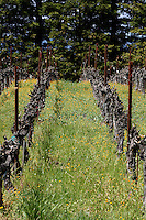 Looking down the rows of grapes at Robert Mondavi Vineyard in Oakville in Napa County in Northern California.