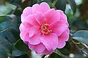 Camellia 'Inspiration' (saluenensis x reticulata), mid March.