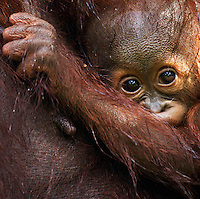 Bornean Orangutan male baby aged 8-9 months wet from a rainstorm (Pongo pygmaeus wurmbii), Camp Leakey, Tanjung Puting National Park, Central Kalimantan, Borneo, Indonesia.