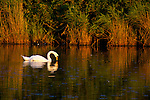 Bird, Swan, Reeds, Pond, Marshes, Brading Marshes, Bembridge, Isle of Wight, England, UK