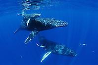 humpback whales, Megaptera novaeangliae, mother, calf and male escort, accompanied by rainbow runners, Elagatis bipinnulatus, Hawaii, USA, Pacific Ocean