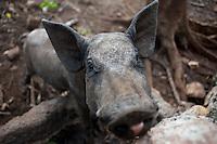 Lol-Ha ranch where organic hairless pigs (puerco pelón) are raised. Yucatan, Mexico