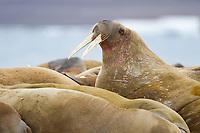 Herd of male walrus on a beach in Svalbard