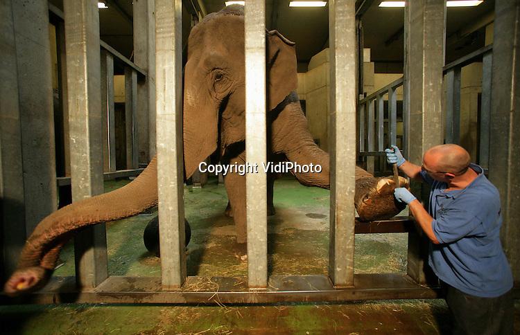 Foto: VidiPhoto..ARNHEM - De olifanten in Burgers' Zoo krijgen eenmaal in de maand een grondige pedicure. Dat is nodig om te voorkomen dat de dieren infecties aan de poten krijgen. De nagels worden dan verzorgd en gevijld. Als beloning voor het aanbieden van zijn poot, krijgt de olifant een appel.