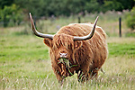 Highland cow in field in Angus, Scotland