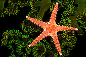 Spiny Sea Star (Gomophia egeria) on Green Tube Coral (Tubastrea micrantha) at night, Fiji.