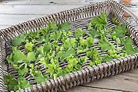 Frauenmantel, Blätter und Blüten werden auf Tablett getrocknet, Trocknung, Ernte, Frauenmantel, Alchemilla mollis, Lady´s Mantle, L'Alchémille, Pied-de-lion