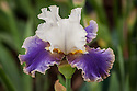 Iris 'Dietmar Brixy', late May. A new iris launched in 2012, by the French Cayeux Iris Nursery, named after the German painter, Dietmar Brixy.