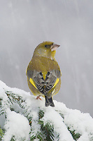European Greenfinch, Carduelis chloris, male on sprouse branch with snow while snowing, Oberaegeri, Switzerland, Europe