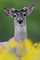 White-tailed Deer (Odocoileus virginianus), buck in wildflowers, Laredo, Webb County, South Texas, USA