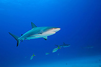 Caribbean Reef Sharks, Carcharhinus perezi, West End, Grand Bahamas, Atlantic Ocean