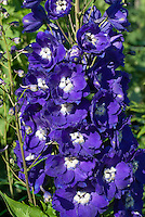Delphinium 'Centurion Royal Purple' in bloom