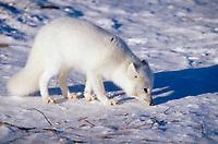 Arctic fox on tundra, Churchill, Manitoba, Canada