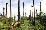 Old palm oil trees (which have been injected with poisons to kill them) stand without fonds, beside new palm oil trees which have been planted and have begun to grow, 'New Britain Oil Palm Limited', near Kimbe, West New Britain Island, Papua New Guinea, Wednesday 24th September 2008. The older trees have been killed off due to them becoming too tall to harvest, and not producing enough fruits.