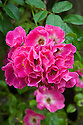 Rosa 'American Pillar', mid July. A dark pink Wichurana rambler. It grows on the Rose Arbour at Upton Grey, Hampshire.