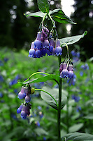 The Tall Chiming Bell (Mertensia ciliata) is an easy wildflower to identify. It grows quite tall 3-4 ft). Sometimes Tall Chiming Bells grows into a perfectly shaped bush... but most of the time its tall, leggy and spindly.<br />