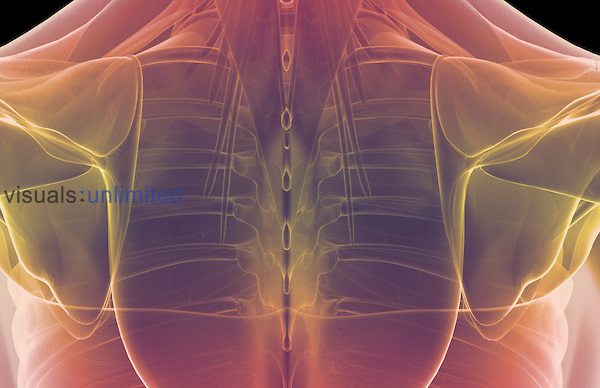 A posterior view of stylized muscles of the shoulders. Royalty Free
