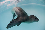 Leopard seal (Hydrurga leptonyx), Astrolabe Island, Antarctica