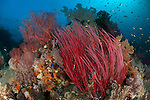 Reef scape with grand sea whip: Ellisella grandis and gorgonian sea fans, Raja Ampat, Indonesia