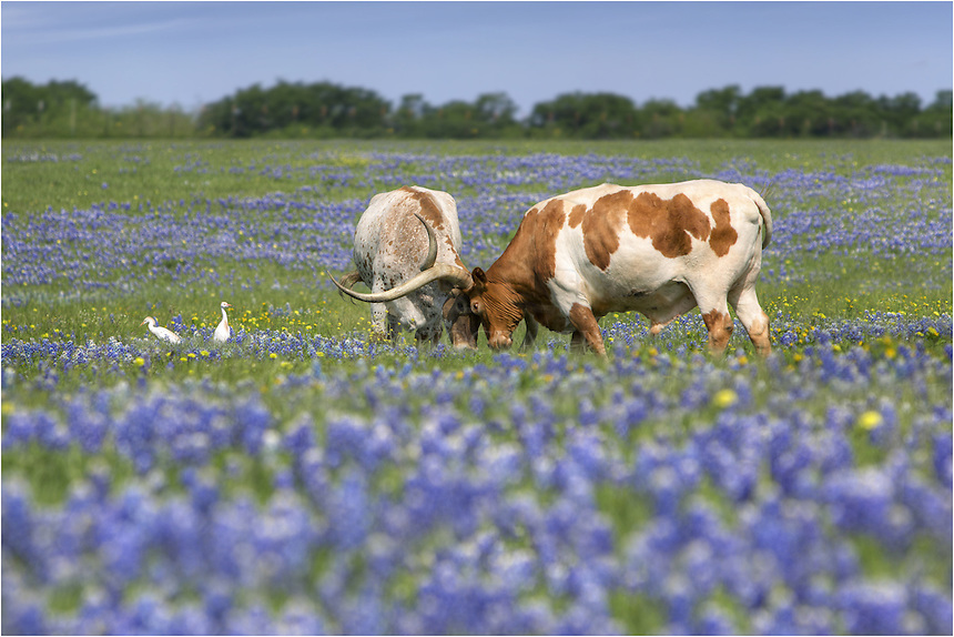Bluebonnet images were difficult to find in the Spring of 2013, but in Ennis, Texas, there were some Texas wildflower pictures to be had. After photographing sunrise over a field of bluebonnets one morning, I came across this patchy field of bluebonnets with Longhorns grazing, and in this case, nuzzling each other in their peaceful pasture. I was amuzed watching the cowbirds as they watched and waited for a change to grab a quick bug. ..These two longhorns approached each other, nuzzled their heads together ever so gently for a few seconds, then walked off together in the bluebonnets and grass.