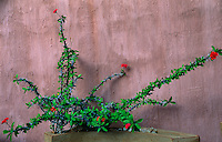 A thorny plant with scarlet blossoms is planted in a curved planter designed by Dina Prinsloo