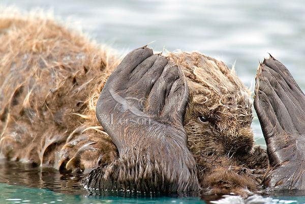 Sea Otter (Enhydra lutris) pup nursing while resting on mom's tummy.