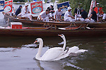 Swan Upping. The River Thames near Windsor Berkshire England 2007. A family of three Swans swim off after being weighed, measured and ringed.