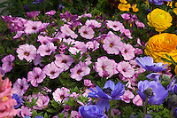 Calibrachoa 'Callie' in flower garden bed with Blue windflower (Anemome)