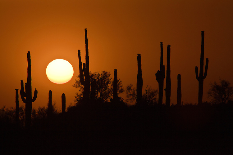 Sunset silhoutte of saguaro cacti (Cereus giganteus) in the Tonto National Forest near Four Peaks