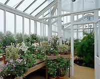 A selection of potted Geranium plants on a shelf in the green house