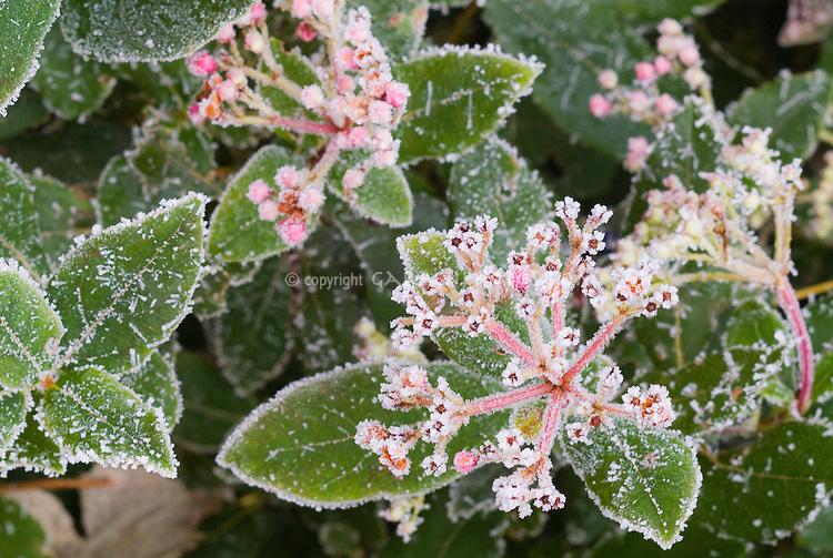 Viburnum tinus 'Gwenllian' in frost additonal 241