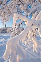 Snowy, frost covered branches, Fairbanks, Alaska