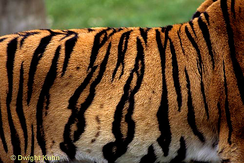 MA40-002a  Bengal Tiger - side - Panthera tigris