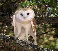 The Common Barn Owl (Tyto alba) is one of the most wide-spread of all land birds, captive.