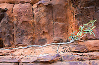 Vegetation grows roots in cracks of Mereenie sandstone at King's Canyon, Red Centre, Australia