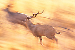 Greater Kudu herd, Tswalu Preserve, South Africa