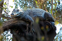 Adult caiman found in the Big Cypress National Preserve. Caimans are found in Central and South America, and this photo generated some interest with Florida Fish & Wildlife. Not a great photo, but the only one we got that day.