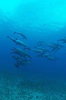 Spinner dolphins swimming over alamita grass,Island of Maui Hawaii.<br /> Delfines jugando y saltando en las aguas de Maui,Hawaii.